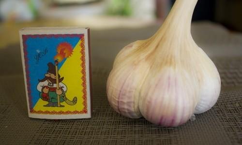 украинский чеснок сорта харьковский фиолетовый