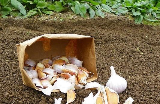 чеснок в корзинке на поле