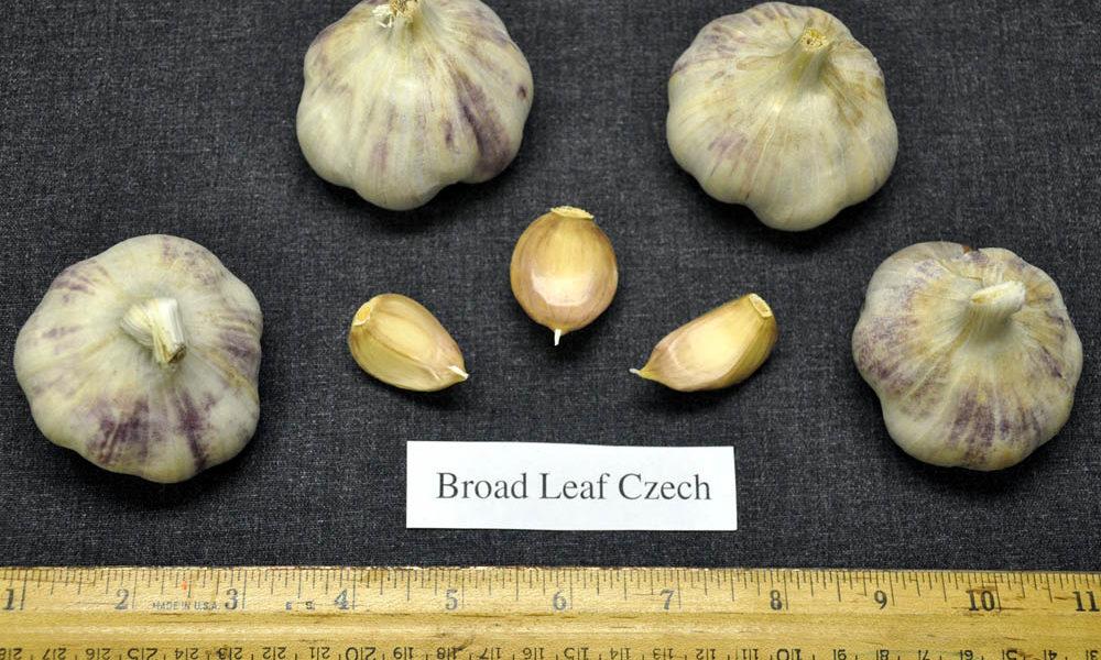 луковица и зубки чеснока сорта широколиственный чешский