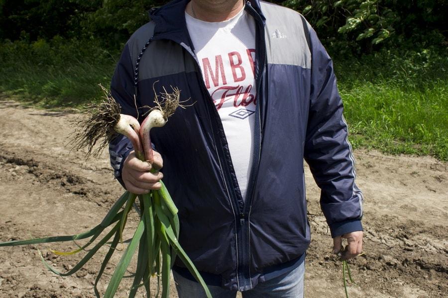 фермер с побегами молодого чеснока в мае 2016 года на поле компании УкрАп (UkrUP)