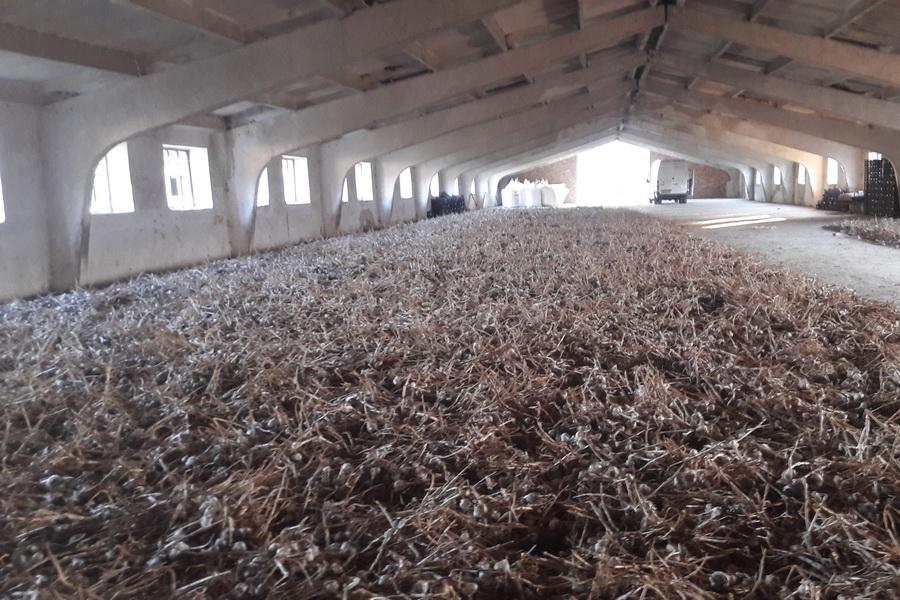 Чеснок на складе производителя чеснока компании УкрАП (UkrUP)