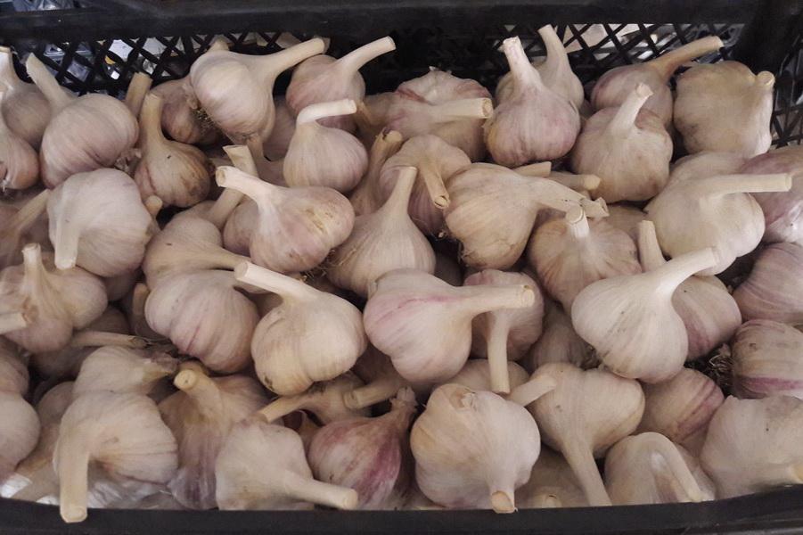 Сорт чеснока Харьковский фиолетовый в ящике от компании УкрАП