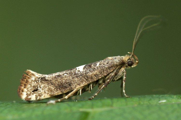 луковая моль,взрослая особь. (Цибулева міль, Acrolepia assectella) фото