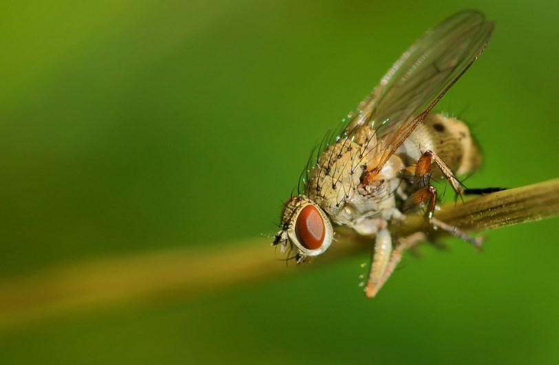 Луковая муха (цибулева муха) на веточке