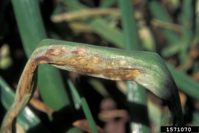 Лист лука с симптомами заболевания лука и чеснока -пероноспороз (ложная мучнистая роса)