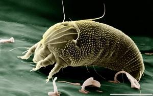 Хвороби та шкідники часнику і цибулі - часниковий чотириногий кліщ, фото