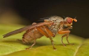Болезни и вредители чеснока - чесночная муха, фото