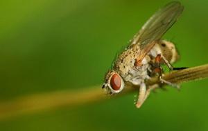 Хвороби та шкідники часнику і цибулі - цибулева муха , фото