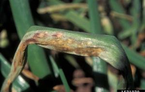 Болезни и вредители чеснока и лука - мучнистая роса, фото